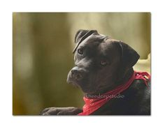 Black Dog Portrait 8x10 fine art photograph pit bull face closeup canine art mancave decor contemporary art small format art under 30