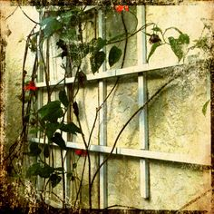 Trellis. #iPhoneography #mission 1 #iPhone #www.lkgphoto.com