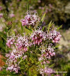 Australian Wildflowers, Australian Native Flowers, Australian Garden, Native Australians, Native Plants, Garden Inspiration, Evergreen, Shrubs, Wild Flowers