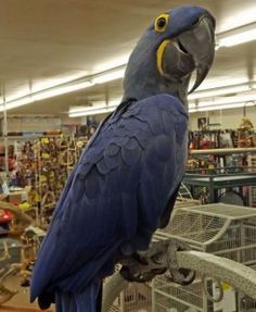 69 Best Hyacinth Macaw images in 2015 | Parrots, Parakeets, Parrot