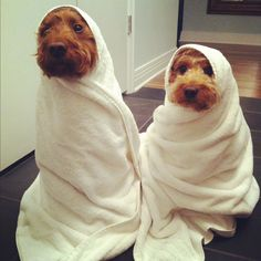 This reminds me of Lil and E at bath time. I want a Mini Apricot Goldendoodle and going to name her Garbles....