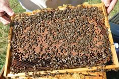 bee frame with brood and bees Bee Facts, Beekeeping For Beginners, Worker Bee, Bee Do, Everything Will Be Alright, Bee Keeping, Queen Bees, Honey, Frame