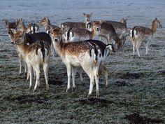 Very curious deer in Odijk by zwedendejong