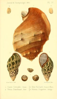 t 15 (1867) - Journal de conchyliologie. - Biodiversity Heritage Library