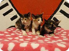 Rome, GA - Domestic Shorthair. Meet 14C-0192-0194 (4/4) a Kitten for Adoption.