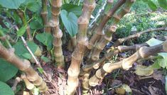 Is Kava Good for Sleep and Insomnia?