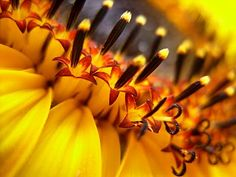 *Sunflower