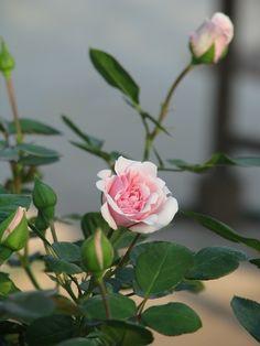 Rózsa fajták Flowers, Plants, Plant, Royal Icing Flowers, Flower, Florals, Floral, Planets, Blossoms