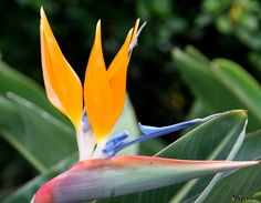 Birds of Paradise_Strelitzia #madeira #secretmadeira Photo by Odeveld_Love Them!
