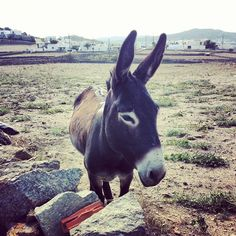 Mykonos Cape4 Agency, friendly donkey