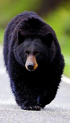 The black bear Nature Animals, Animals And Pets, Cute Animals, Bear Pictures, Animal Pictures, Beautiful Creatures, Animals Beautiful, American Black Bear, Tier Fotos