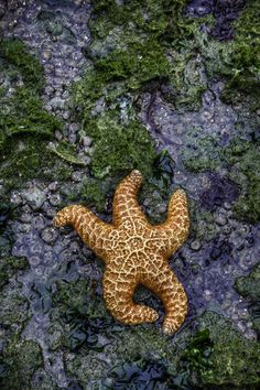Starfish on a bed of anemones