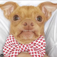 is a crossbreed dog, best known as an internet celebrity, and an internet He was abandoned by his original owner near San Diego, and was adopted at a farmer's market in Los Angeles by Dasher Funny Animal Memes, Cat Memes, Funny Animals, Funny Memes, Chihuahua Puppies, Bulldog Puppies, Chihuahuas, Tuna Dog, World Cutest Dog