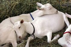 Sleeping Saanen Goats #goatvet like the condition of these Saanens