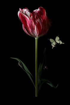By Bas Meeuws - Tomorrow I have to photograph one of these tulips by Bas Meeuws as a Lighting Study. Unfortunately I couldn't find beautiful tulips like this one. Exotic Flowers, Amazing Flowers, Beautiful Flowers, Beautiful Pictures, Dutch Still Life, Black Background Photography, Mint Plants, Garden Of Earthly Delights, Still Life Photography