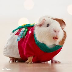 It may be an ugly Christmas sweater, but it's a really cute guinea. #pawlidays