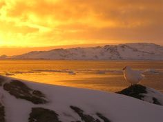 Photograph by: Clair Von Handorf National Science Foundation Date Taken: August 2012 A Snowy Sheathbill and a spectacular sunset near Palmer Station. Antarctic Circle, Marine Ecosystem, National Weather, Exploration, Natural Scenery, Planet Earth, Photo Library, Beautiful World, Great Places