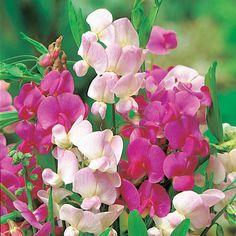 https://www.dobbies.com/products/plants/perennial-herbaceous/lathyrus-latifolius/