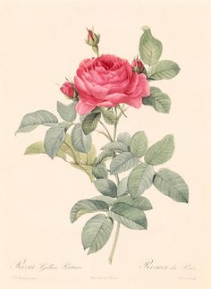 rosa gallica pontiana by pierre joseph redoute.  he's one of my favorite floral artists, for obvious reasons. :)