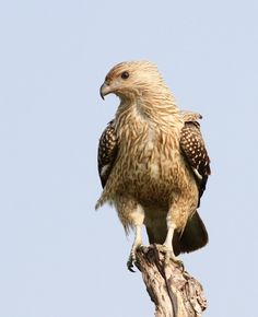 The Whistling Kite - Haliastur sphenurus, is a medium-sized raptor with a shaggy appearance. This species is widespread over mainland Australia except Tasmania, and is also found in New Guinea, the Solomon Islands and New Caledonia. Photo by Phil Cook.