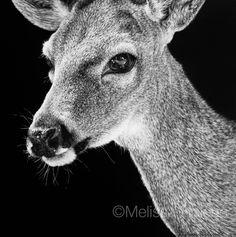 Key Deer | 5x5 scratchboard | Melissa Helene Fine Arts + Photography www.melissahelene.com #artwork #scratchboard #wildlife #endangeredspecies #keydeer #art #blackandwhite #animalart #melissahelenefinearts