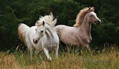 arabian horse - Bing Images