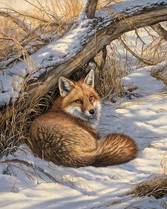 Restful Moment-Red Fox Art Print by Rosemary Millette | Wild Wings