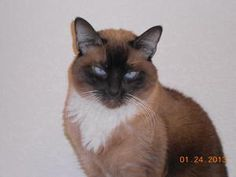 1000+ images about Siamese Snowshoe cats on Pinterest   Snowshoe, Siamese and Siamese Cats
