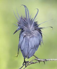 little blue heron, by amaw