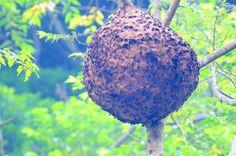 虎頭蜂的正確防範方法