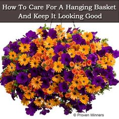 How To Care For A Hanging Basket And Keep It Looking Good Container Flowers, Container Plants, Container Gardening, Hanging Flower Baskets, Hanging Plants, Hanging Gardens, Diy Hanging, Outdoor Plants, Garden Plants
