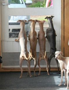 Standing At Window-4 Dogs-Lebreles