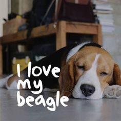 I Love My Beagles … #beagle