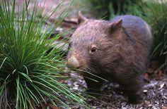 Wombat. That is reason enough to go to Australia.