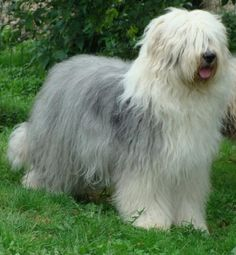 Old English Sheepdog (Bobtail) Great Britain with tail