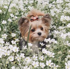Yorshire Terrier, Terrier Breeds, Cute Puppies, Dogs And Puppies, Pet Dogs, Dog Cat, Yorkie Haircuts, Baby Animals, Cute Animals