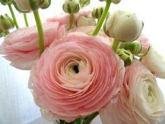 renoncule tomer rose clair | Tranquilité en rose poudré