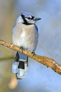 Blue Jay by Brian E. Kushner on Flickr