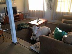 Evin salonunu yaşam alanı ilan eden sevimli inek ajanimo.com'da.. #ajanimo #ajanbrian #animal #hayvan #inek #cow