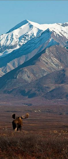 A moose roams the tundra of Denali National Park in Alaska • photo: Mariko Kinikin on Flickr - National Parks of Alaska