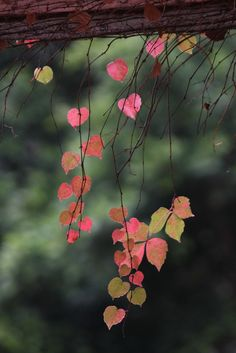 pink leaves #autumn #fall