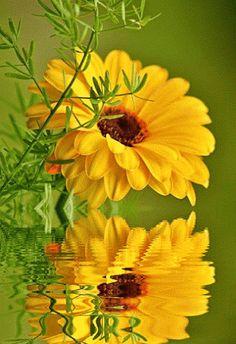 Анимация - Отражение желтого цветка