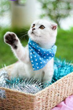 Little White Scottish Fold Cat Baby Cats, Baby Animals, Cute Animals, Kittens Cutest, Cats And Kittens, Selkirk Rex, American Curl, Cat Scottish Fold, Cat Bandana