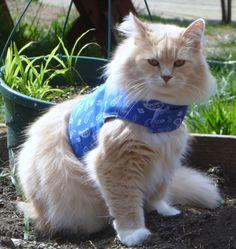 Pet Harness Blue Paisley by ScotsPlace on Etsy, $18.00