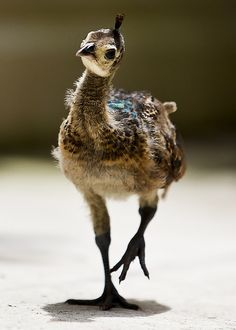 baby peacock. They are like the ugly duckling, they grow up to new one of the most beautiful creatures!