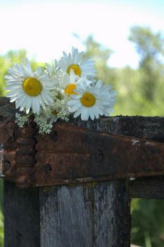 Daisies on the fence