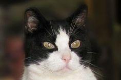 Munja-an-adoptable-Tuxedo-cat-in-Montana