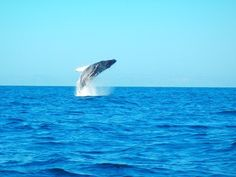 Breaching whale near La Paz, Baja California Sur, Mexico. Picture from Chabelo, at https://www.facebook.com/pages/Fun-Baja/277638142255371