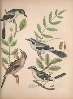 Illustrations of the American ornithology of Alexander Wilson and Charles Lucian Bonaparte :. Edinburgh :Frazer & Co. ;1835..