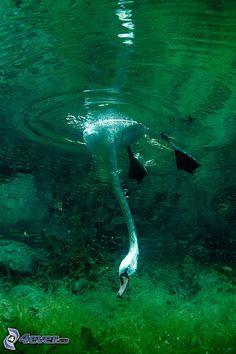 Schwan, Schwimmen unter Wasser, Algen